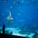 A giant manta shows off for the audience at the whale shark tank.