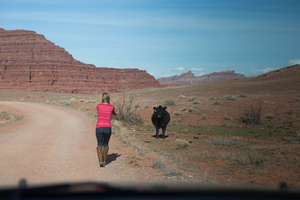 Canyonlands cow