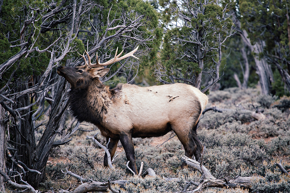 Elk at the Grand Canyon