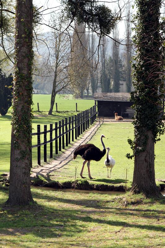 Surprise ostriches near Giverny. Also, surprise alpaca.