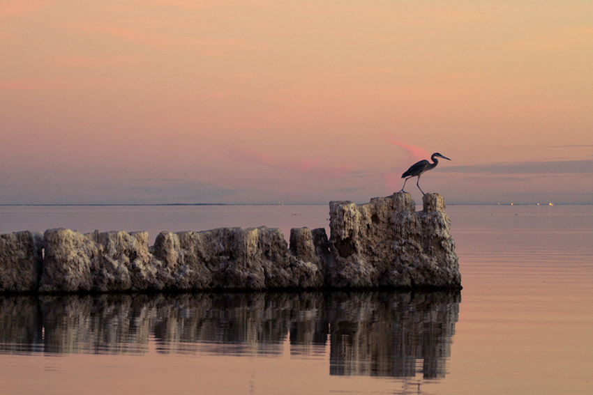 A bird hunting at sunset, Salton Sea