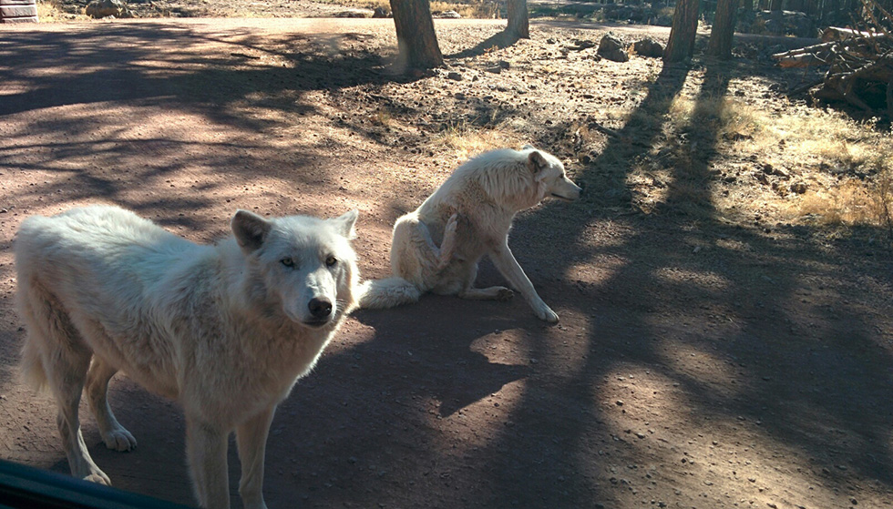 Arctic wolf at Bearizona